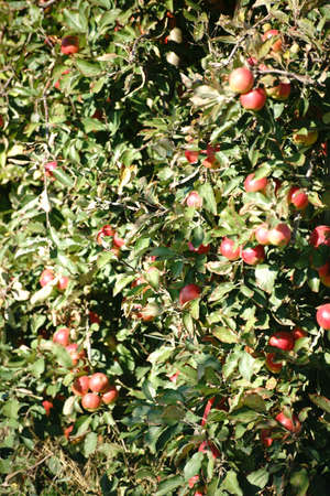 albero da frutto: The closeup of an apple tree on an apple tree plantation filled with apples.