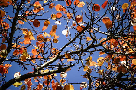 pyrus: The canopy of a Ussuri pear tree in autumn, Pyrus ussuriensis.