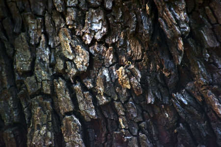 sorbus: The closeup of bark of a Service tree, Sorbus domestica.