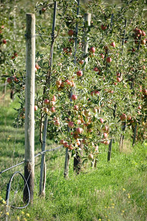 A number of circumcised apple trees in an apple orchard filled with apples. Фото со стока