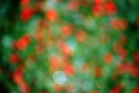 red berries: The blur and abstract closeup of red berries of a bush in the autumn.