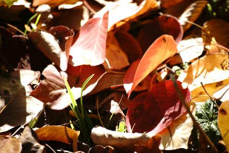 ussuri: Fallen leaves of a Ussuri pear tree in autumn, Pyrus ussuriensis, on the floor.