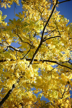 canopy: The canopy and the canopy of a black walnut tree in autumn, Juglans nigra. Stock Photo