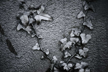 silvered: A silvered climbing vine, ivy, on a plaster wall.