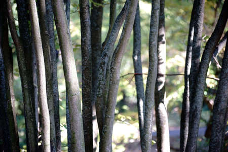 homogeneous: The close-up of thin and parallel stationary trunks of a Parrotiopsis jacquemontiana. Stock Photo
