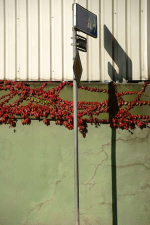 crack climbing: The tendrils and branches of a vine plant on a cracked wall with red and green leaves in the fall and a traffic sign and its abstract shadow.