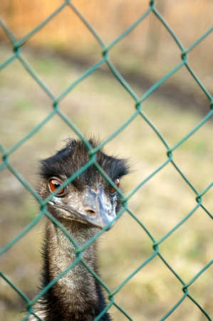 animal husbandry: The head of a domesticated and bred Emu behind a fence. Stock Photo