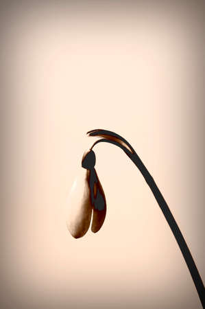fine art: The Closeup and the Fine Art of a lit snowdrop.