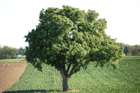 forage: An old deciduous trees, oak, standing on a box with forage crops. Stock Photo