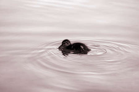 A sweet ducklings floating on a body of water and generates circular waves.