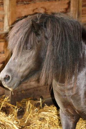 nahaufnahme: Ein dunkelbraunes Pony mit langem Deckhaar steht in einem Pferdestall.