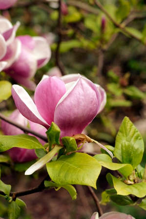 pflanze: Die makro Nahaufnahme einer pinkfarbenen Magnolienbl�te. Stock Photo