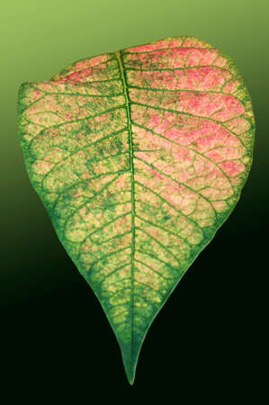 patterning: The closeup of the isolated leaf of a poinsettia with a distinctive pattern and color. Stock Photo