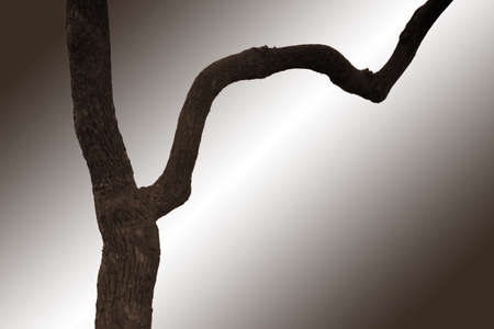 branched: The close-up of an isolated branched tree trunk.