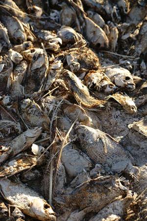 dead fish: The closeup of dead fish on the Salton Sea in California due to pollution and over-fertilization. Stock Photo