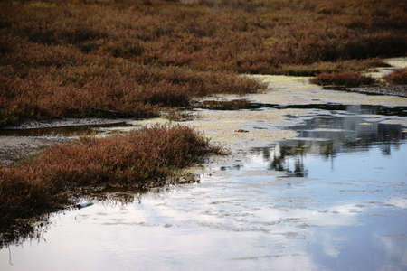 saltwort: A marshy and swampy saltmarsh meadow with herbs and grasses near the sea.