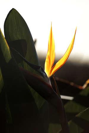 bird of paradise: El primer plano de un ave del paraíso de flores de color amarillo en luz posterior.