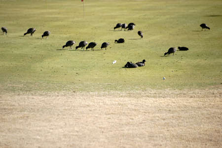 golf balls: A group of coots eating and sitting on the grass of a golf course.