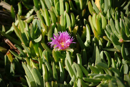 fleshy: The purple flower of a Carpobrotus chilensis plant looks out from between fleshy green leaves.