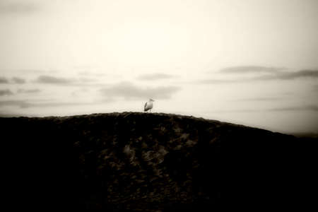 pacific ocean: A seagull perches on a dune of a beach on the Pacific Ocean.