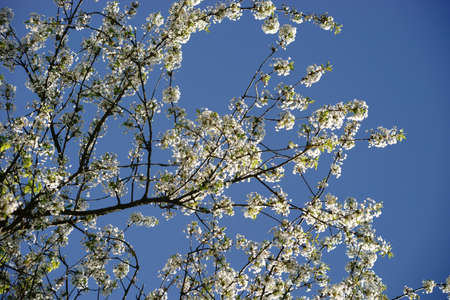 gleaming: The blue sky behind the gleaming white blossoms of a cherry tree.