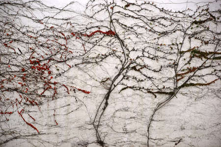 crack climbing: The vine leaves and bare branches of a vine plant on a cracked wall with red leaves in autumn. Stock Photo