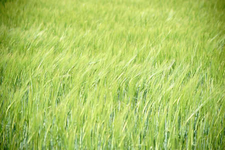 crop  stalks: The fresh and green ears of corn and awns of barley in a field swinging in the wind.