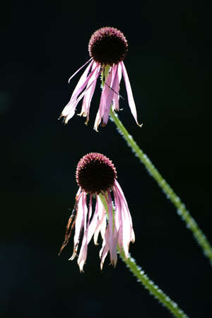 wilting: The side profile and the close-up of wilting blossom Red coneflower, Echinacea purpurea, against the light. Stock Photo