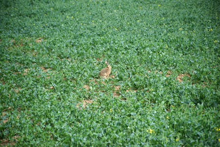 oryctolagus cuniculus: A wild rabbit sits amid the green leaves of a rapeseed field.