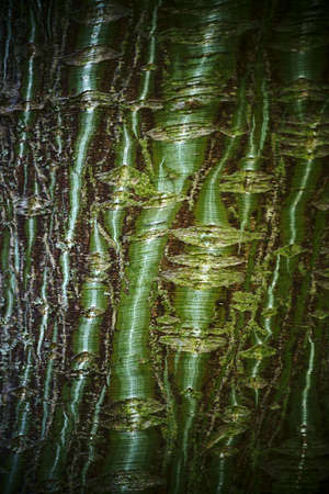 acer: The close-up of the bark of a striped maple tree, Acer pensylvanicum. Stock Photo
