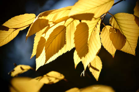 The yellow leaves of yellow birch in autumn in the backlight.