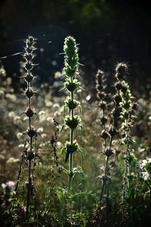 herbaceous plant: The portrait of morina an herbaceous plant in the middle of a wild meadow in the backlight.