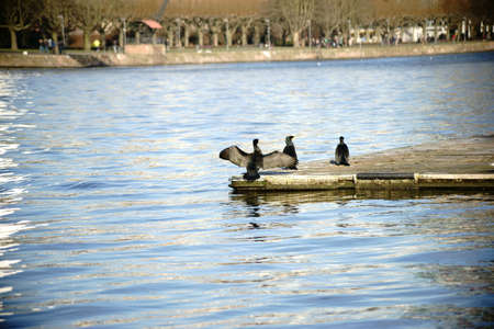 A group of three cormorants sits on a boat bridge on a river. Stock Photo