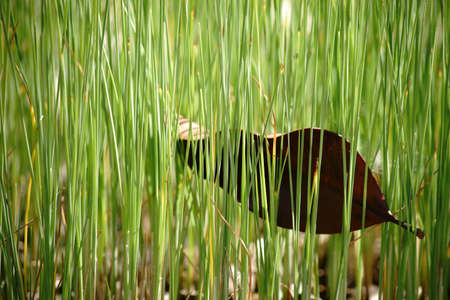 A series of plant stems of the dwarf bulrush in marshy water with a caught leaf between the green. Stock Photo