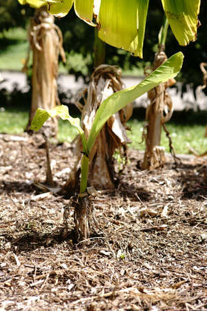 A young Japanese fiber banana, Musa Basjoo, in a garden bed with peat.