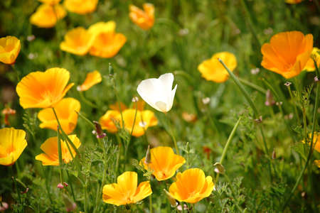 The top view of a garden bed with a white California poppy between a variety of highly luminous yellow poppies.