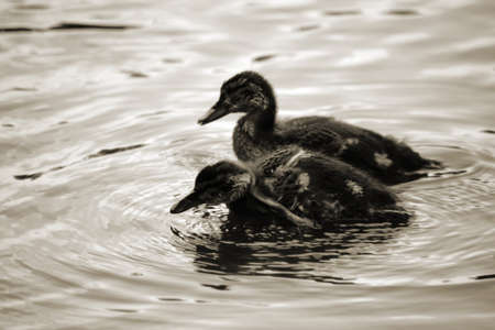 Two ducklings standing in a water and generates circular waves.