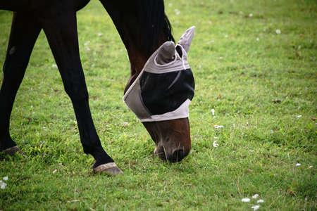 飛ぶヘッド ガードと馬は、牧草地をかすめるし、草を食べる。 写真素材