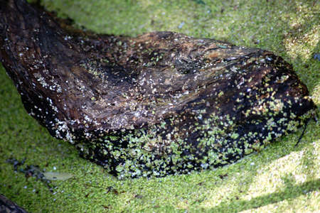 The close up of a tree stump in a marshy water with duckweed. Фото со стока
