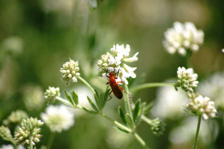 red clover: The close-up of a red soldier beetle on a flower umbels from dorycnium. Stock Photo