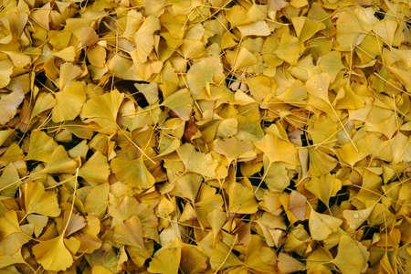 The fallen yellow leaves of the ginkgo tree in autumn. 版權商用圖片 - 92162981