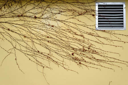 The tendrils and branches of a vine in winter on a yellow facade with ventilation grille.