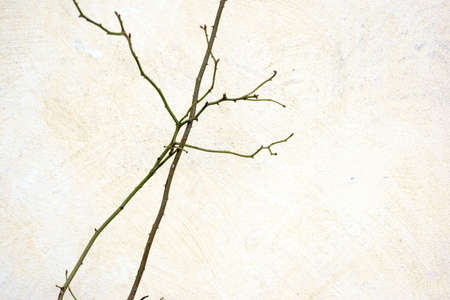 The close-up of rose branches with thorns in front of a yellow plastered wall.
