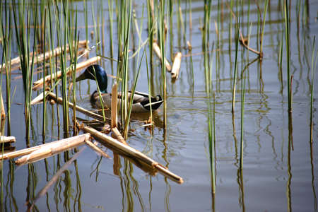 A mallard drake swims between the young shoots of the reed on the nearby shore.