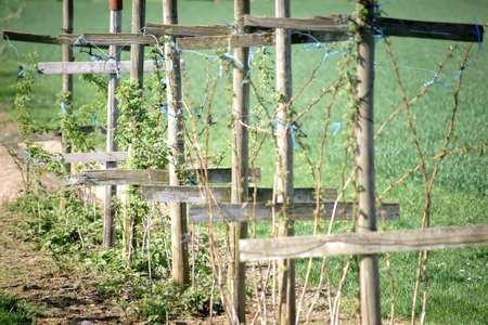 Cruciform wooden pillars and timber scaffoldings holding a raspberry bush.