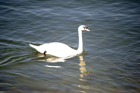 The portrait of a swan on the slightly wavy water surface of a river in which it reflects. 写真素材