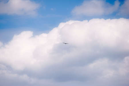 The silhouette of a bird of prey flying towards white heap clouds.
