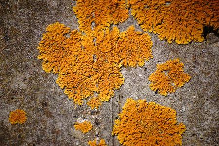 Le gros plan macro d'un lichen à bulles et d'un lichen jaune sur une surface.