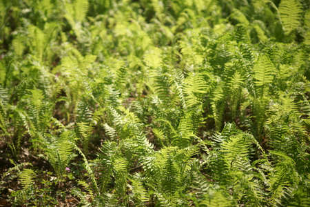 A field with European fern, ostrich fern on the forest floor. Stock Photo
