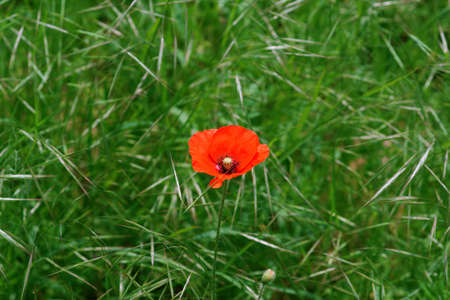 Bright red poppy flowers on the edge of a field, surrounded by grass. Banco de Imagens